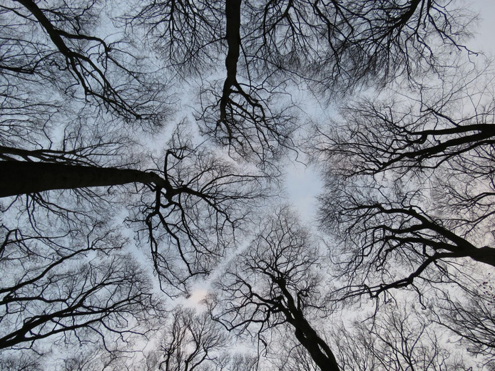 Crown Shyness in Ede.