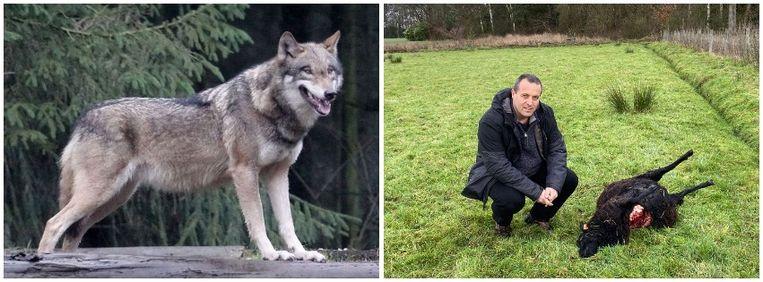 In Zoersel doodde naar alle waarschijnlijkheid een wolf twee schapen.