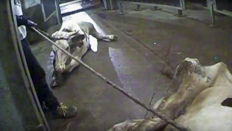Een still uit Superwizjer: een Poolse slachthuismedewerker trekt aan een koe.  Beeld REUTERS