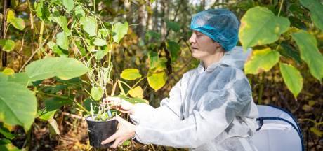 'In vijf jaar duizendknoop in stroomgebied de Reusel uitroeien'