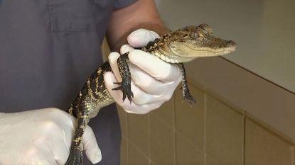 250 slangen, alligators en stinkdieren gevonden in een huis