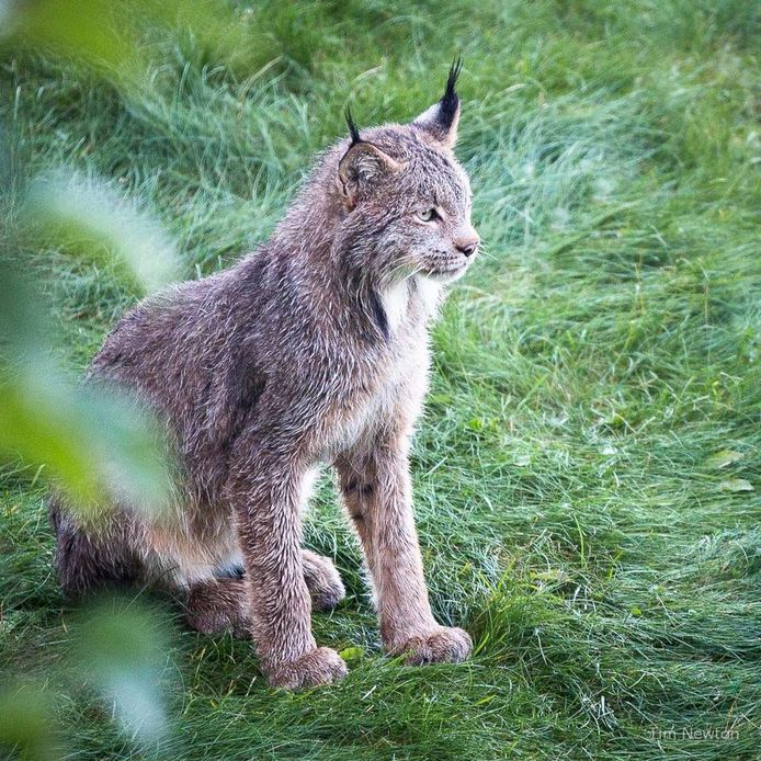 Moeder lynx wachtte eerst rustig in het gras op haar kleintjes.