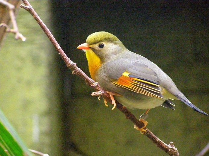 De Japanse nachtegaal is een opvallend mooi en goed zingend vogeltje.