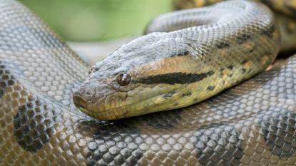 Zeldzaam: anaconda krijgt jongen zonder bevruchting door mannetje