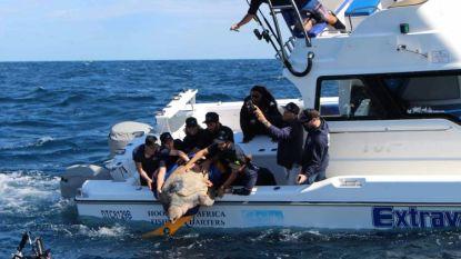 Supergetrainde schildpad Yoshi werd weer vrijgelaten in zee. Nu is ze bezig aan fabuleuze zwemtocht van al 35.000 kilometer