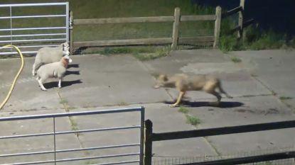 Camera legt wolvenaanval vast in Nederland: acht schapen gegrepen