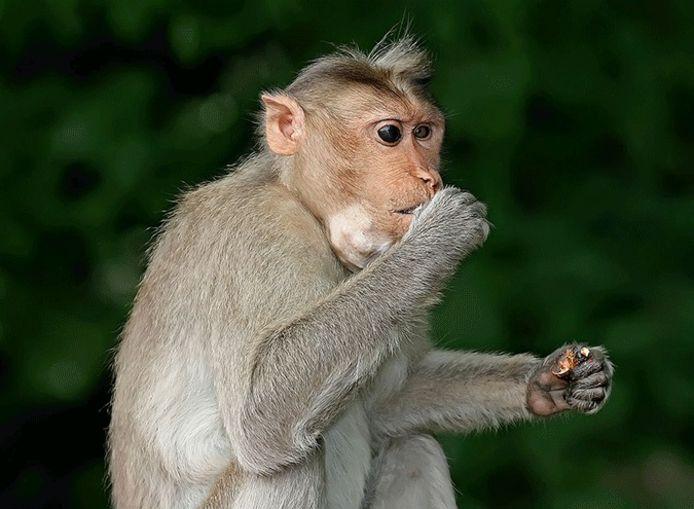Een Java-aap, ook wel makaak genoemd.