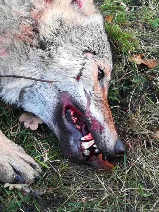De wolf bij Kloosterhaar