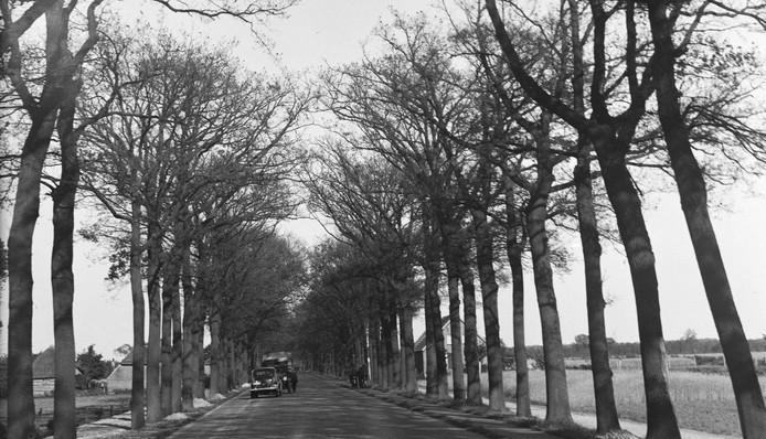 De eiken langs de Rijksweg bij Heesch zijn kaalgevreten door de rupsen (mei 1936). Foto BHIC