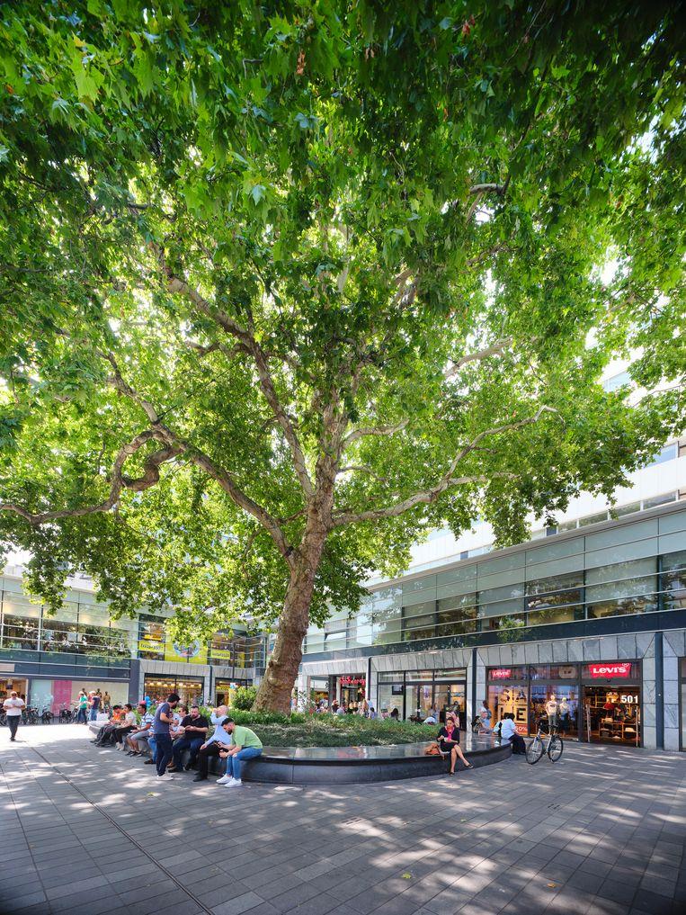 De 'Lijnbaanplataan' uit 1851 in Rotterdam overleefde het bombardement op de stad in 1940. De boom werd in 2019 tweede bij de verkiezing Boom van het Jaar.  Beeld Mark Kohn