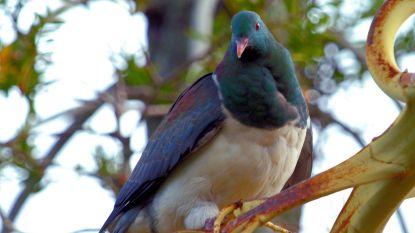 Dit koddige, dronken dikkerdje is in Nieuw-Zeeland vogel van het jaar