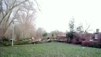 Ciara blaast grote populier om: schade in tuinen en Markebekepad deels dicht