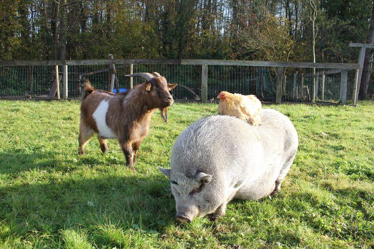Barney de geit naast Marie de kip, die het zich comfortabel maakt op Gloria het hangbuikvarken.