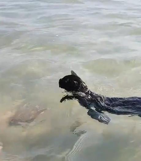 Nathan de zwemmende strandkat werd gedumpt maar is nu ster op Instagram