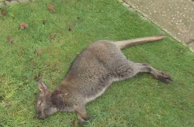 Een van de gedode kangoeroes in Beringen.
