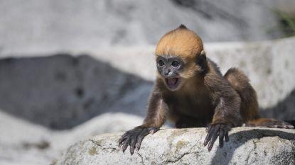 Hoe schattig: baby bedreigde apensoort geboren in Franse zoo