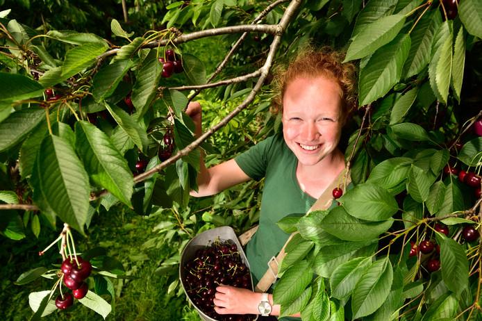 Studente Rosanne Vergeer uit Zegveld plukt en verkoopt kersen bij de boomgaard van Smorenburg.