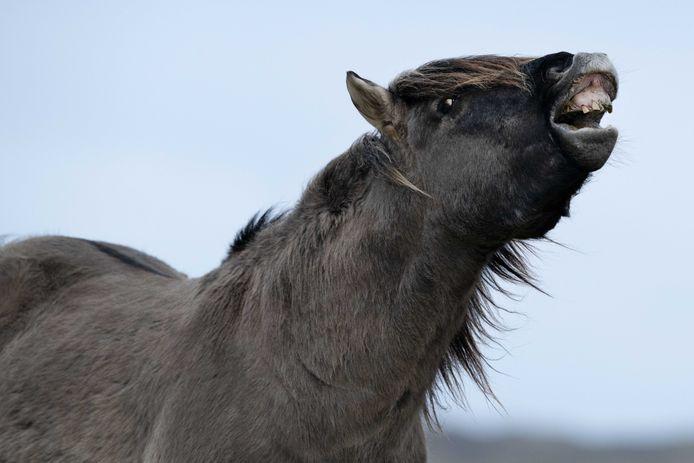 Een groep konikpaarden afkomstig uit Flevoland is naar de slacht gebracht