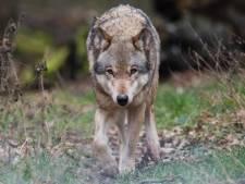 Duitse milieuminister wil afschieten van wolven makkelijker maken
