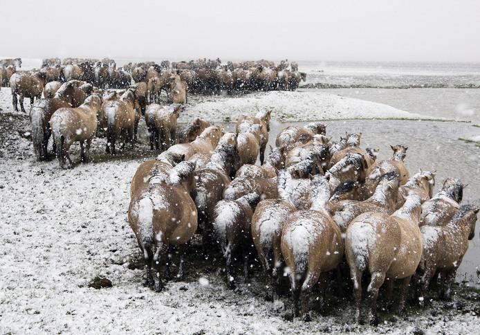 Konikpaarden in winterse Oostvaardersplassen. Het welzijn van grote grazers als deze dieren is regelmatig inzet van heftige discussies.