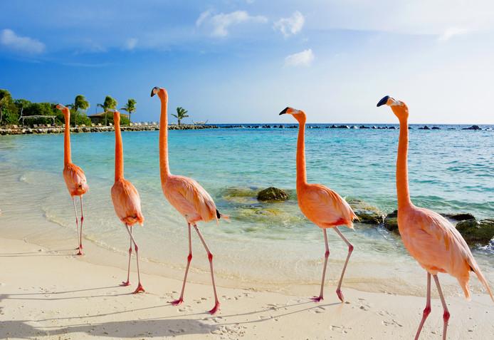 Flamingo's op het strand op Aruba.