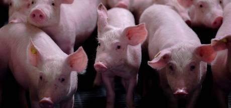 'Warme sanering' varkenshouderij gaat later van start