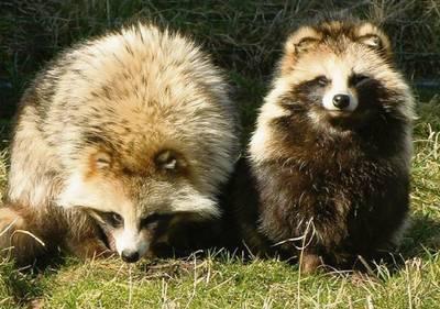 Wolhandkrab en wasbeer zijn dichterbij dan je denkt