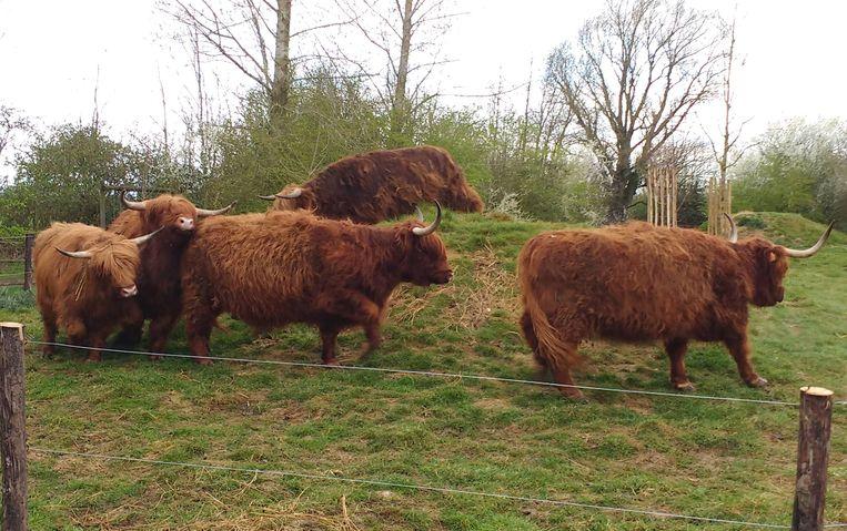 De vijf Schotse hooglanders kunnen sinds kort genieten van een nieuwe weide.
