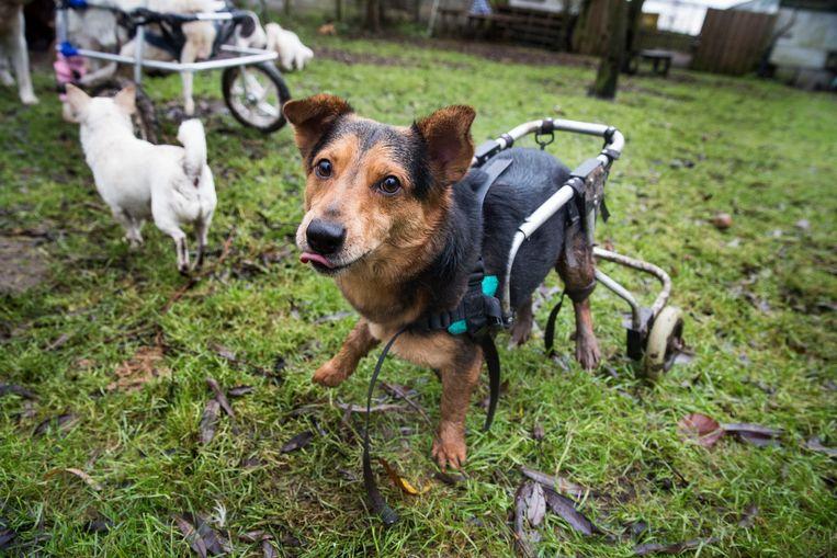 Maria Moria heeft veertig sneue katten, 27 dito honden (waarvan 3 in rolstoel) en een varken.  Beeld