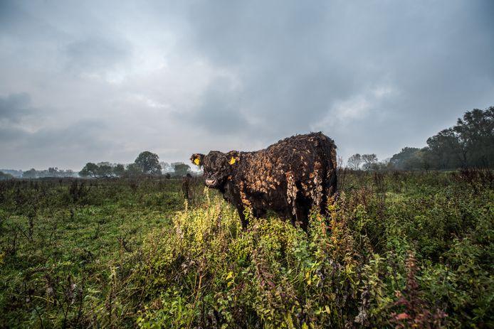 In Meinerswijk zijn de gallowayrunderen nooit ver weg. Als de bezoeker te dichtbij komt, gaat het rund meestal weg. De konikspaarden in het gebied komen vaak juist naar de mensen toe.