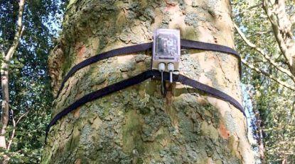 """Hogeschool zet sensoren op stadsbomen in Sint-Niklaas: """"Wisselwerking tussen stadsbomen en hun omgeving onderzoeken"""""""
