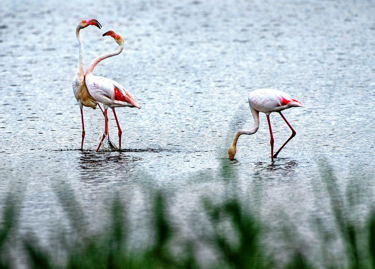 Drie van de zeven flamingo's die zijn neergestreken bij Durgerdam.  Beeld Klaas Jan van der Weij / de Volkskrant