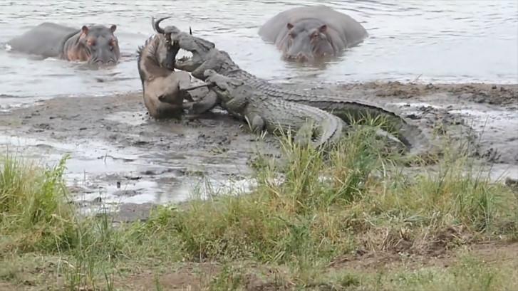 Nijlpaarden redden gnoe van krokodillen