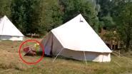 Geniepige bever snuffelt rond op camping en loert in tent