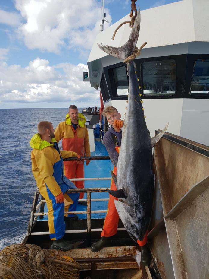 Urker vissers hebben in de Noordzee bij Ameland een tonijn gevangen van 65 kilo.