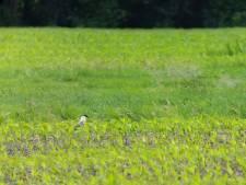 Boswachter doet een 'bizarre waarneming' van zeldzame vogel in Langerak