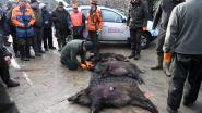 Jagers schieten 17 everzwijnen in Meerdaalwoud
