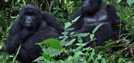 Terug van bijna weggeweest: de berggorilla