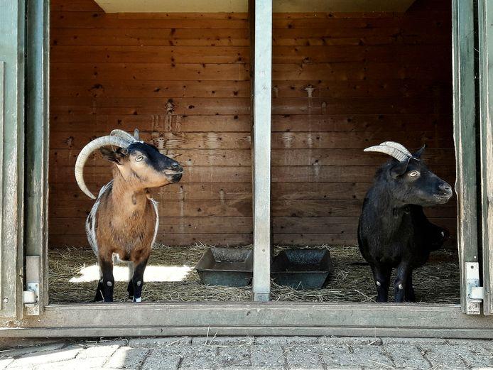 Op dierenweide Zwanevlot zijn 28 dieren ondergebracht, waaronder een aantal dwerggeiten.
