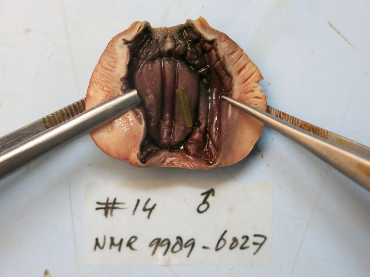 De (gezond ogende) maag van spreeuw nummer 14 bij het Natuurhistorisch Museum. Beeld Kees Moeliker