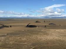 Une cinquantaine de baleines pilotes échouées sur une plage en Islande