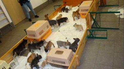 Duitse politie arresteert smokkelaars die 37 puppy's naar België wilden brengen om ze illegaal te verkopen