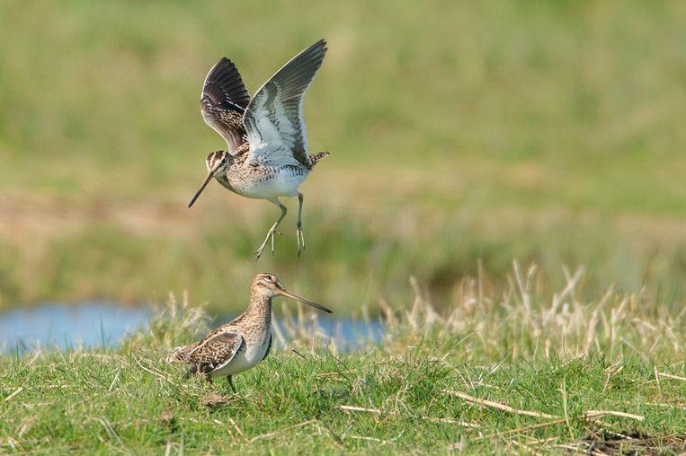 Lente in de Surhuizumermieden, waar weidevogels volop aan het baltsen, paren en nestelen zijn. Balts van de Watersnip. Beeld mvk