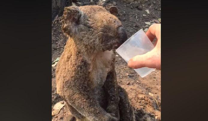Un koala qui chante émeut Facebook.