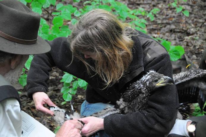 Nu de arend van het nest is gelicht wordt de vogel kort onderzocht.