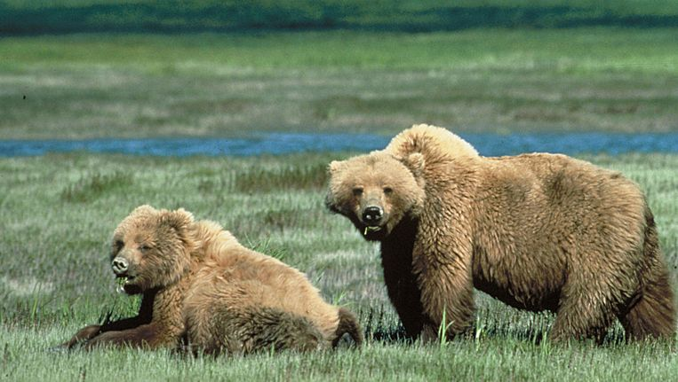 Grizzlyberen in Yellowstone National Park. Beeld afp