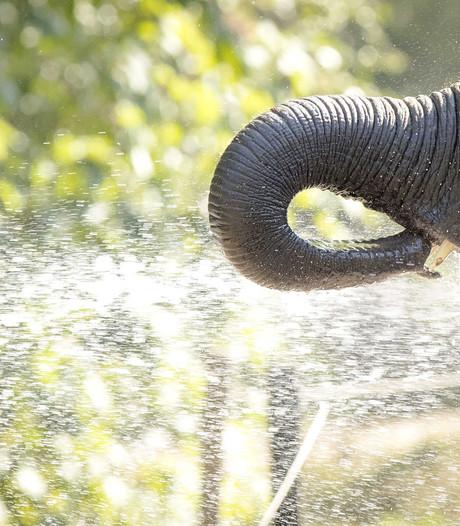 Olifanten in Blijdorp krijgen verfrissende douche met tuinslang