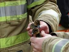 Brandweer redt eendjes uit Veenendaals riool
