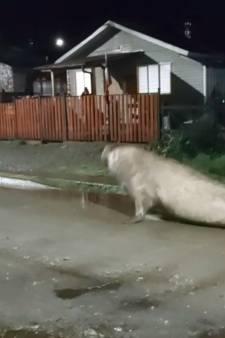 Un éléphant de mer perdu en ville: scène insolite au Chili