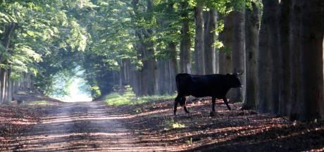 Ongewenst: het einde is in zicht voor Spaanse runderen in de Edese natuur